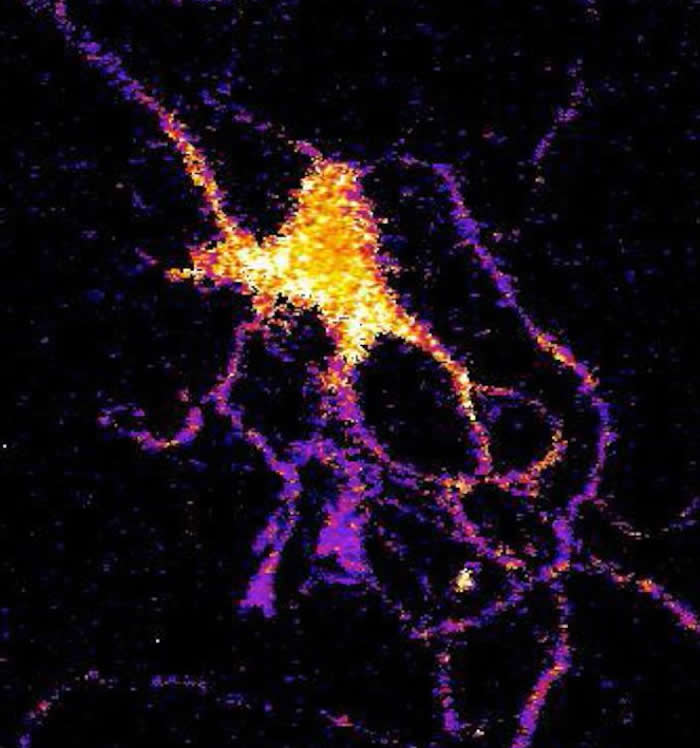 Individual neuron glowing with bioluminescent light produced by a new genetically engineered sensor.